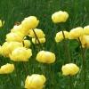 fiore botton d\'oro