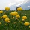 Botton d'oro in fiore